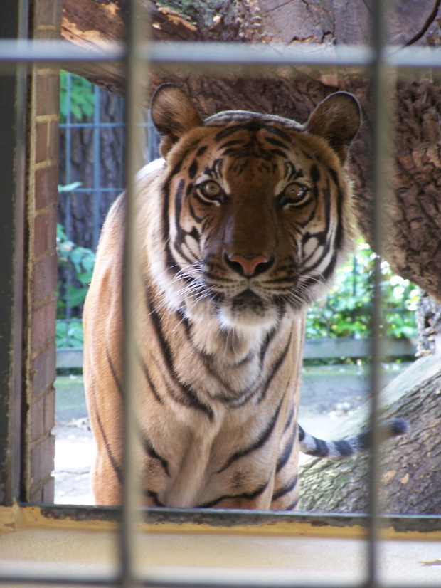 Tiger at the Berlin Zoo. May 2006.