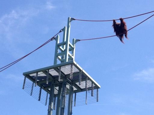 An orangutang crosses the O Line.