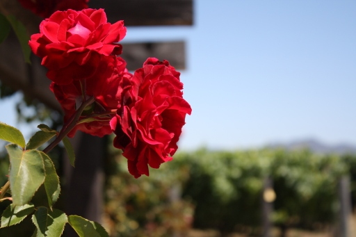 Roses in bloom at the Robert Mondavi winery in Napa Valley. July 2011.