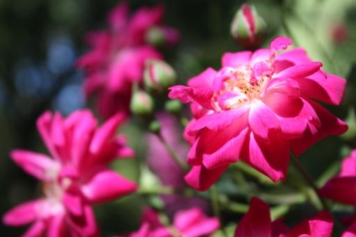 The rose garden at the Elizabethan Gardens in Manteo, N.C.