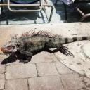 Iguanas are everywhere! (Photo courtesy of Ashley Woods.)