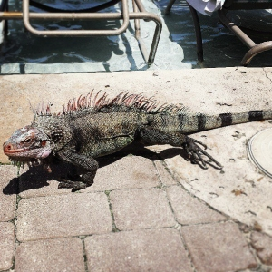 Iguanas are everywhere! (Photo courtesy of Ashley Woods.)