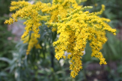 Goldenrod that kicked my summer allergies into high gear.