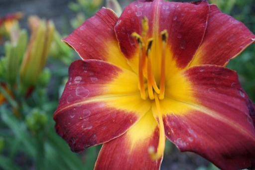 Daylilies in red and yellow