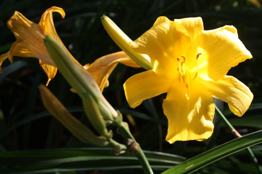 Sunlight creates a glow around the yellow Daylilies
