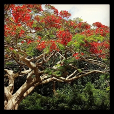 St Thomas tree