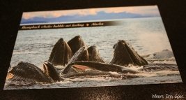 """""""Whale watched today! Saw 5 orca and 9 humpback. The hback were bubble netting like on this card. Amazing. One breached!,"""" Amanda wrote to me from Juneau."""