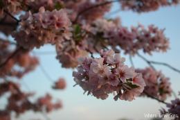 CherryBlossomsCloseUp