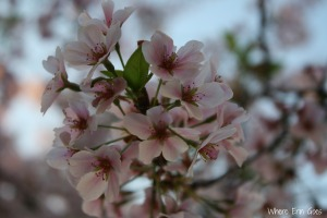 Cherry Blossoms | Where Erin Goes (Photo by Erin Klema.)