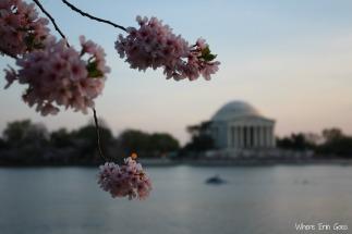 CherryBlossomsJefferson