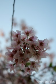 CherryBlossomsVertical
