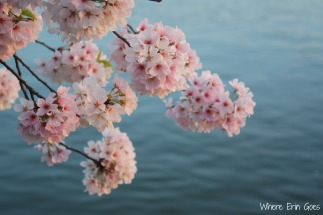 CherryBlossomsWater
