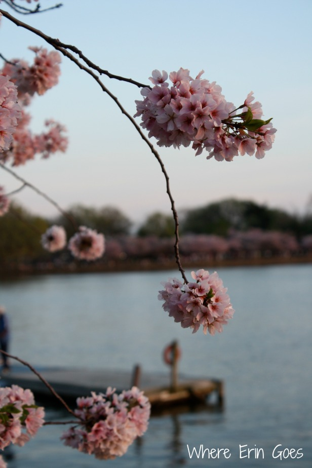 CherryBlossomsWaterVertical