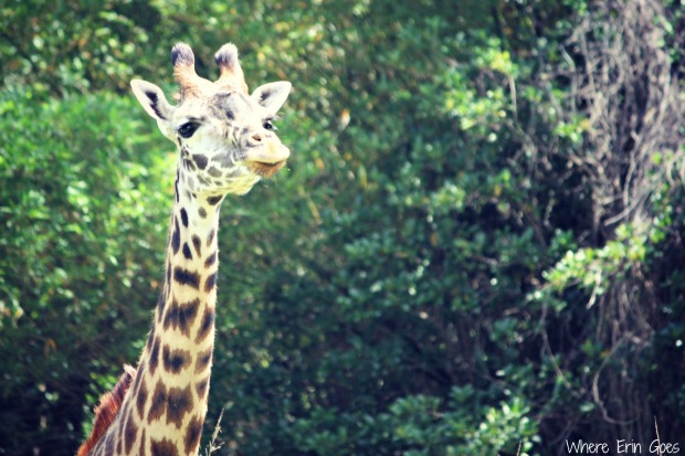 The first giraffe I saw on the ride! (Photo by Erin Klema)