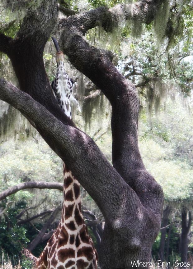 Giraffe tongue! (Photo by Erin Klema)