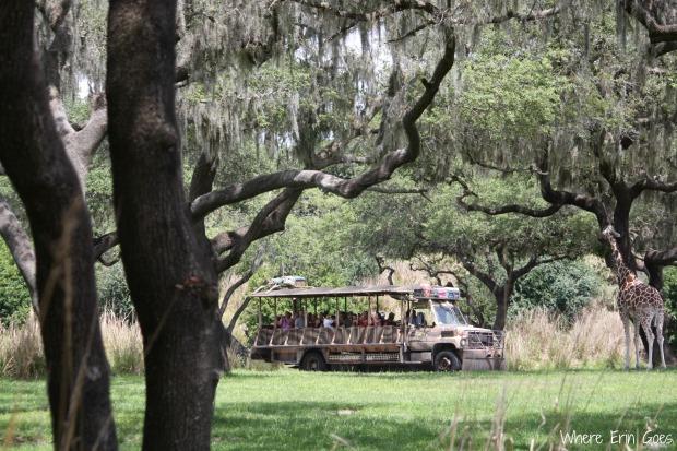 A safari truck approaches a giraffe on the ride. (Photo by Erin Klema)