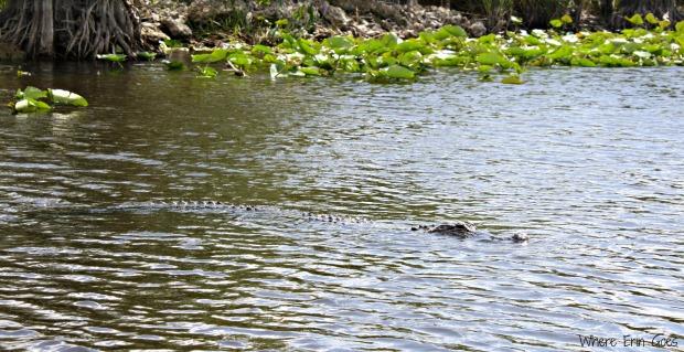 Alligator in the Everglades (Photo by Erin Klema)