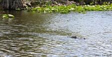 Alligator | Where Erin Goes