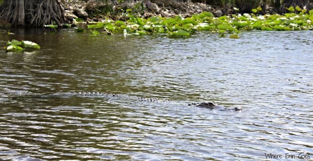 Here's the ham! This alligator swam right past our boat while the others mostly hid among the plants and blended in quite well. (Photo by Erin Klema)
