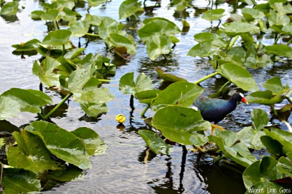 Purple Gallinule | Where Erin Goes
