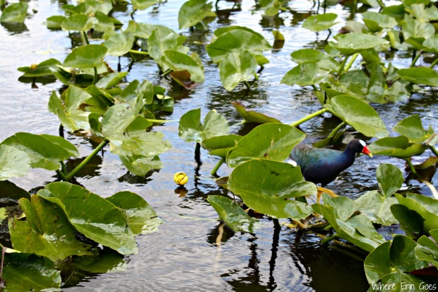 This is the Purple Gallinule trained to eat popcorn from the mouth of our airboat captain/guide. (Photo by Erin Klema)