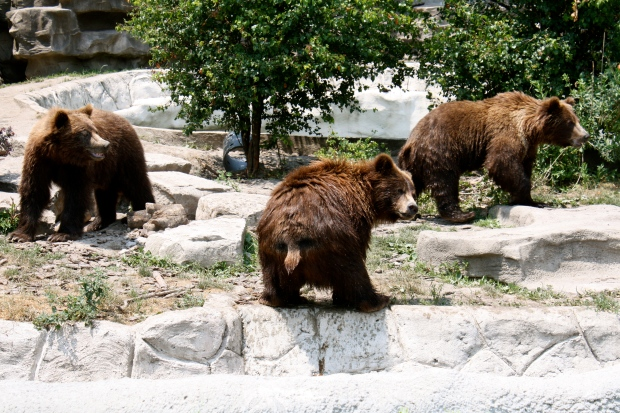 A trio of cubs at the Detroit Zoo in June 2012 (Photo by Erin Klema)