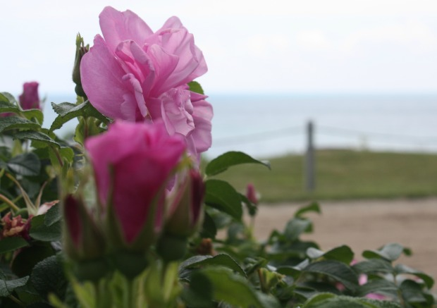 Beautiful roses in the lakefront garden of a family friend's home. (Photo by Erin Klema)